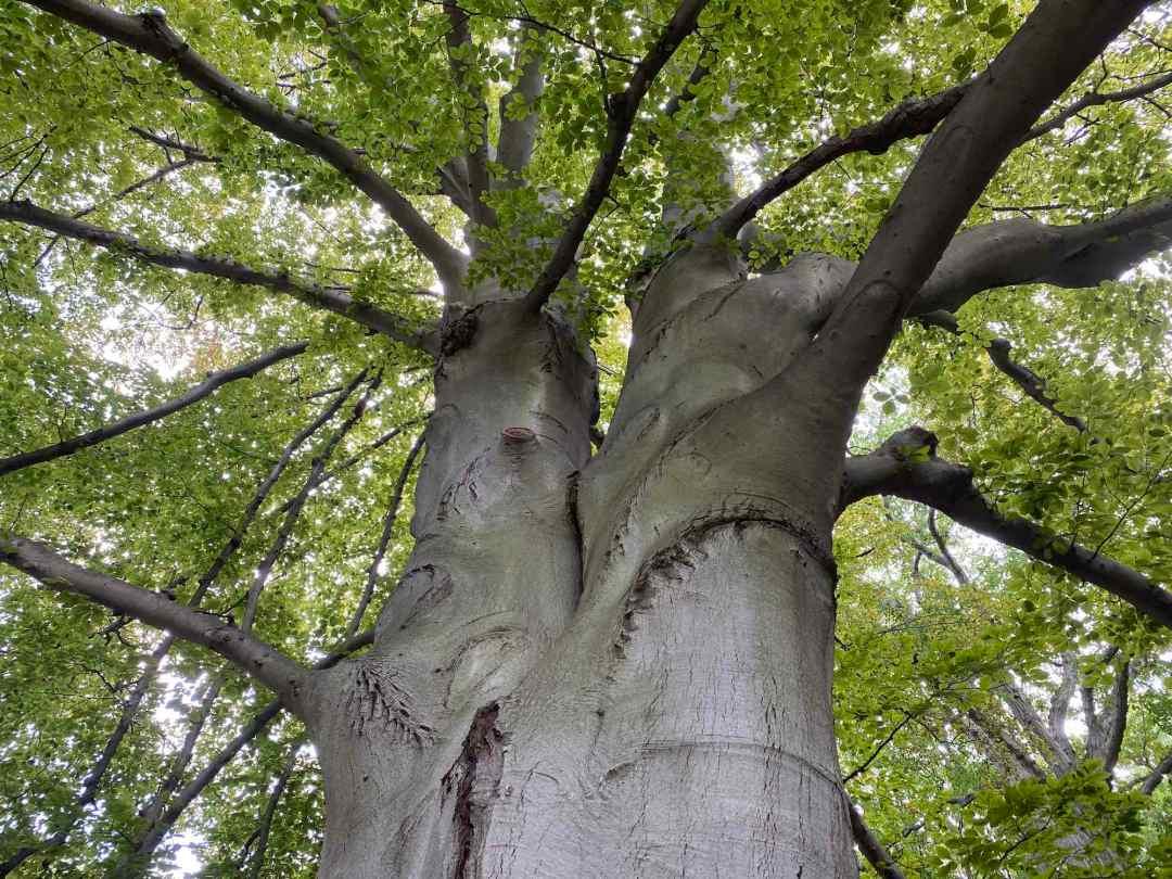 A tall tree, seen from below